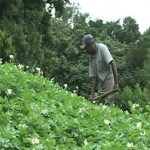 Fitzroy Lloyd - Potato Farmer