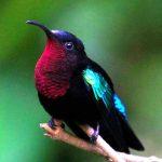 Purple-Throated Hummingbird