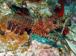 Lobster fishing season