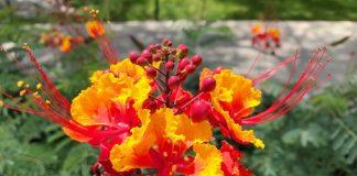 Barbados local plant species.
